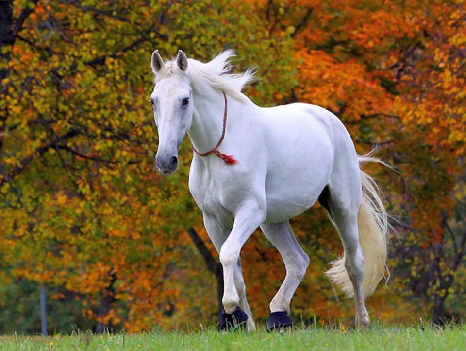 Caballo blanco corriendo