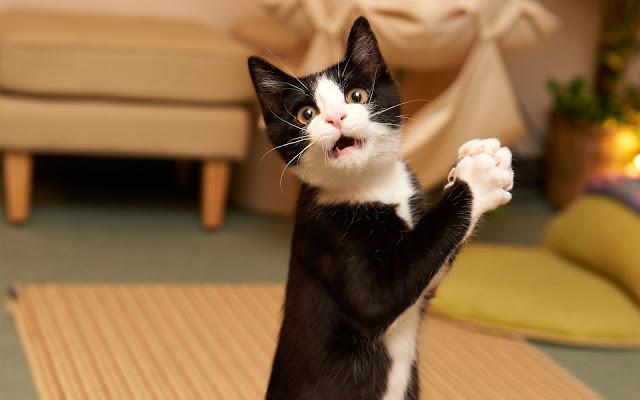 Kat klapt met pootjes en kijkt verbaasd