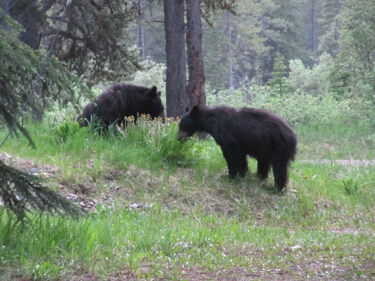 osos de Canada, Jasper national, oso negro, park, parques nacionales de Canada