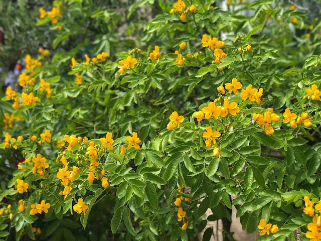 Cassia oder Zimtrinde mit dottergelben Blüten (c) by Joachim Wenk