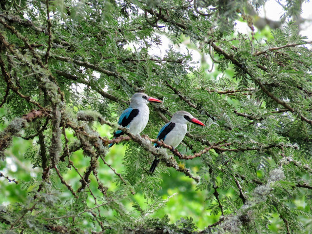 A pair of woodland kingfishers in Lake Mburo national park in Uganda