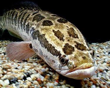 Jenis Ikan Gabus Gambar Ikan Jenis Jenis Ikan Snake Head Gabus Chana Spesies