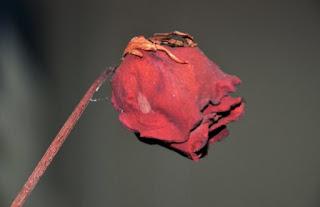 gambar bunga mawar indah 42