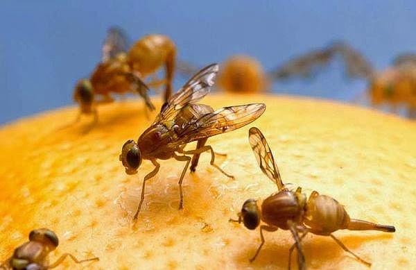 Ini Jawaban Lalat Buah Pintar Membedakan Rasa