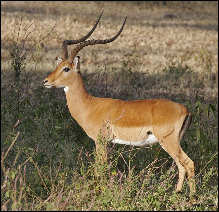 impala animal sound - 750×726