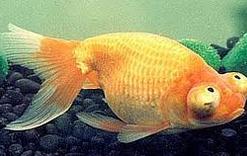 Jenis Ikan Koki Dan Choten Gan
