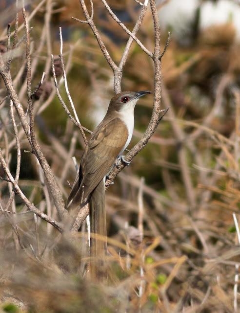 Black-billed Cuckoo - Bayhead, North Uist