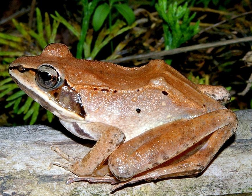 Weedpicker's Journal:: Our earliest frogs