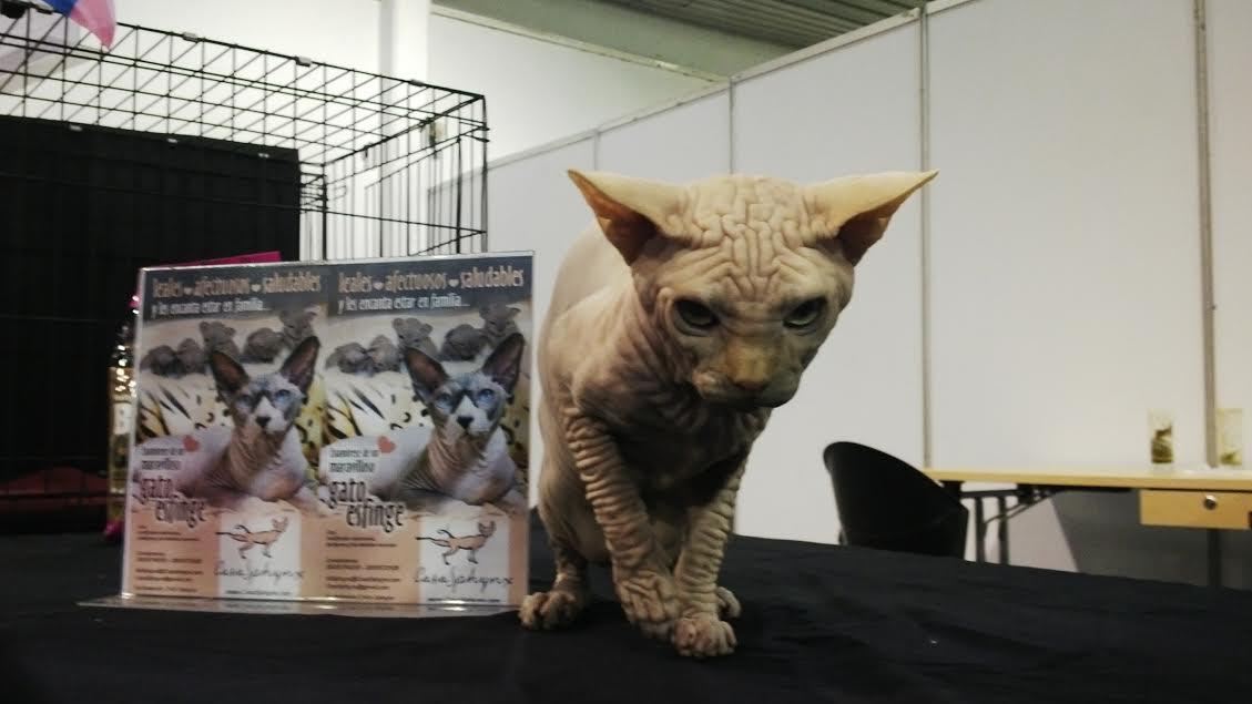 En la Feria de Colonias están los gatos más grandes del mundo | La ...