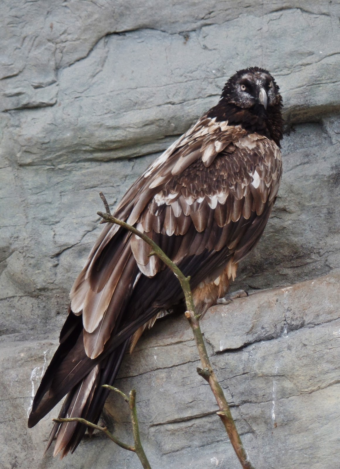 Picture of a bearded vulture on a cliff.