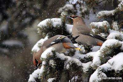 Ampelis europeos en la nieve