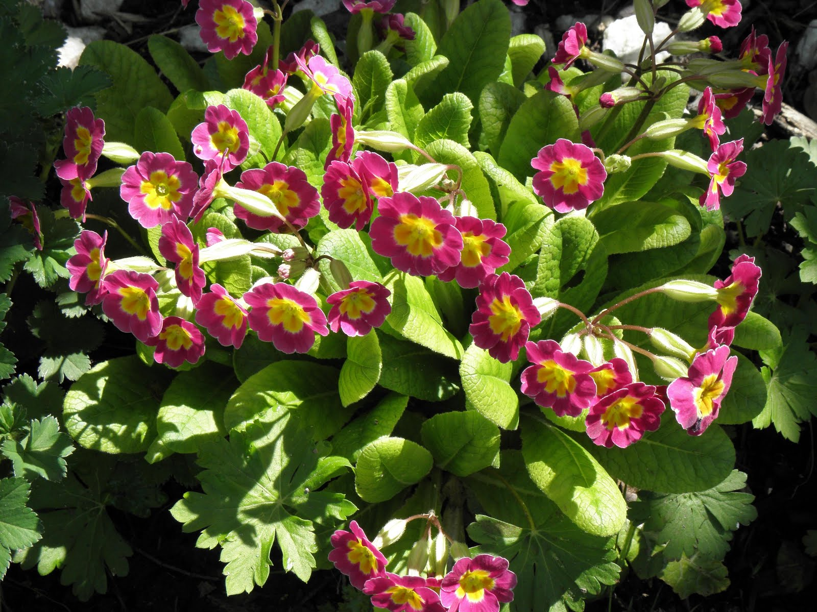 Primula to Come