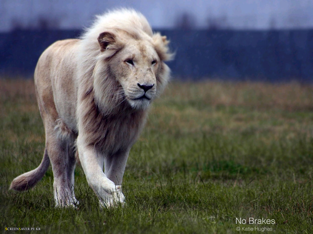 Sports White Lion Hd Wallpapers