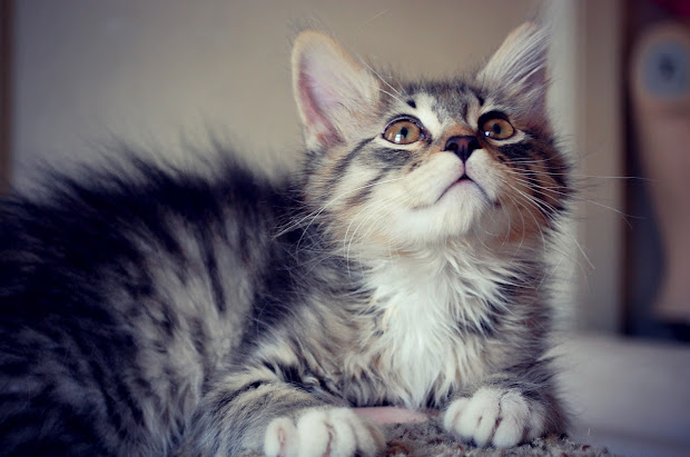 Craigslist Maine Coon Mix Kittens - Year of Clean Water