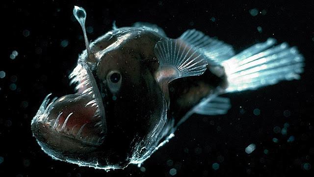 Anglerfish ikan laut dalam yang sangat buas dan mengerikan