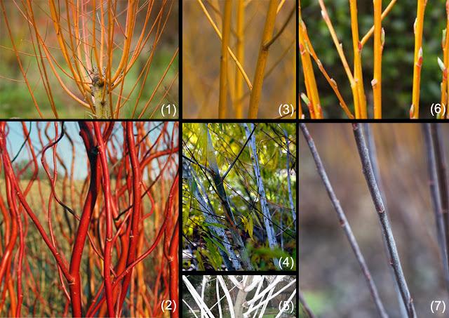 salcie, culori ramuri, gradina iarna, decor ramuri colorate, salix, nuiele impletituri, plante impletituri, peisagistica, plante ornamentale