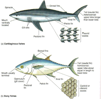 Perbedaan susunan sisik pada (a) ikan Chondrichthyes (tulang rawan) dan (b) ikan Osteichthyes (tulang sejati)