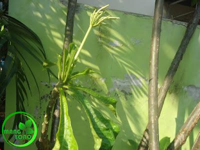 FOTO : Pohon kamboja yang dilakukan Grafting sudah tumbuh kuncup bunga