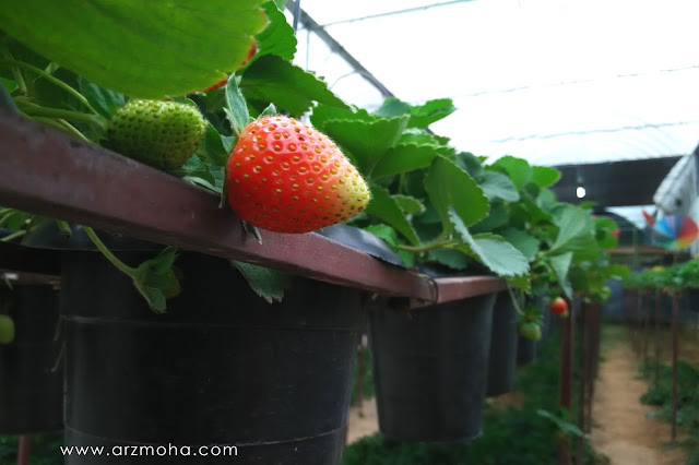 strawberry farm, ladang strawberi, tempat menarik di cameron hihglands, buah strawberi,