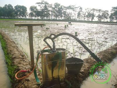 Penyemprotan hama keong mas pada tanaman padi Trisakti