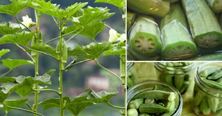 Okra! An Amazing, Natural, Extremely Effective Herb That Improves Your Health!