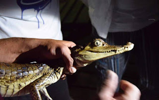 Small crocodilian being held by the neck and tail