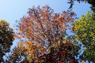 Ein Baum mit buntem Laub vor strahlend blauem Himmel