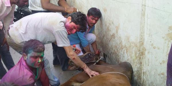 अनियंत्रित बाइक ने गाय को मारी टक्कर, घंटो तक कराहती रही गाय घटना स्थल पर