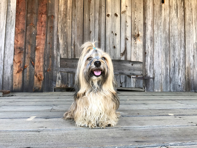Rocco Havanese on the porch at Robinson-Puckett House