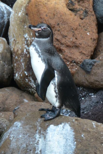 Punta Vicente Roca penguin