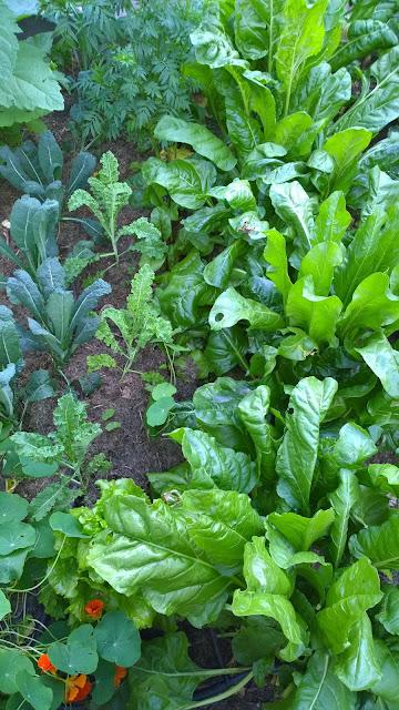saftiges Gemüse im bewässerten Beet (c) by Joachim Wenk