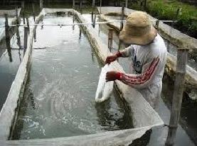 cara budidaya udang galah di kolam terpal,udang galah air tawar,udang vaname,di rumah,pendederan dan pembesaran,teknik,udang galah pdf,