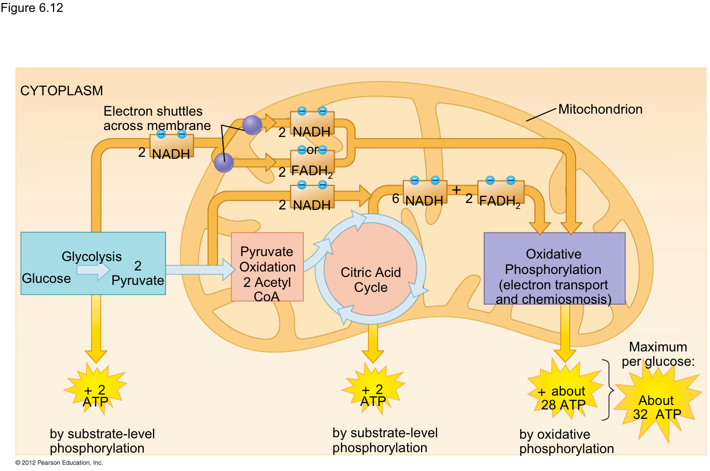 Stages Of Glycolysis And Fermentation Diagram 9007 Headlight Wiring Biology Bīˈäləjē November 2015