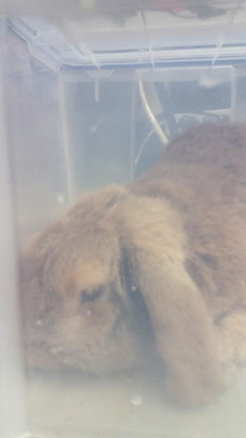 rabbit in oxygen chamber