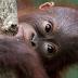 Dua Bayi Orangutan Sumatera Seludupan Diselamatkan di Thailand