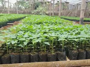 Proses Pembibitan & Pembudidayaan Pepaya Dalam Greenhouse Dengan Plastik Uv