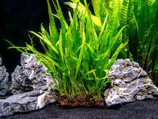 Tanaman Aquascape Mudah Tumbuh Tanpa Inject CO2