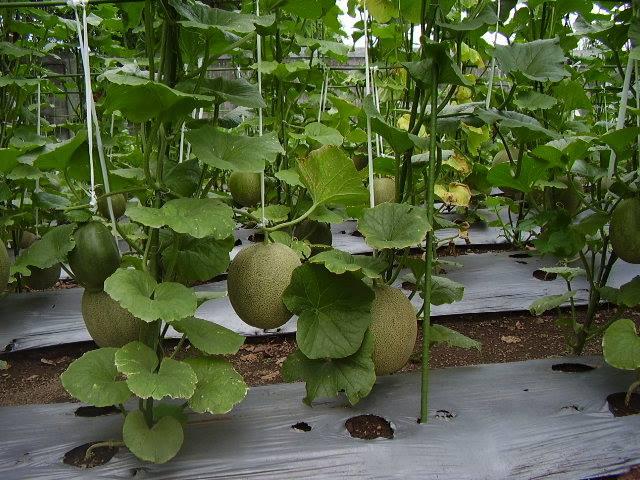 Tanaman Melon dibudidaya dengan Mulsa Plastik (Mulsa Anorganik)
