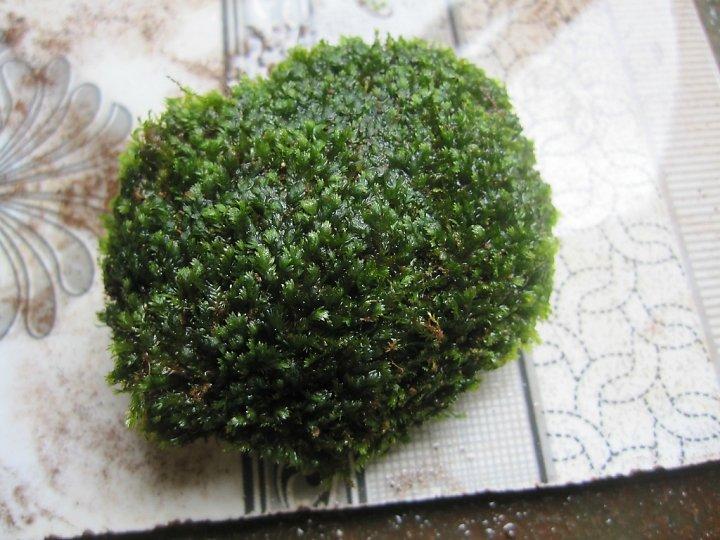 kinh nghiệm xử lý mini fiss thủy sinh bám đất lá cạn -  công đoạn buộc fiss lên đá cuội