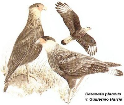 Carancho Caracara plancus