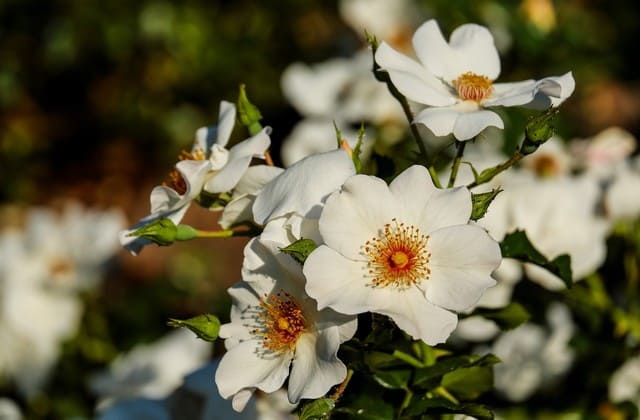 Mawar ini sangat mudah ditemukan di tepi jalan raya ataupun hutan karena beberapa fungsinya