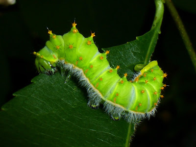 Rothschildia orizaba caterpillar