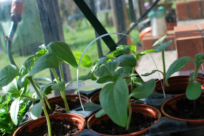 plants in pots in greenhouse