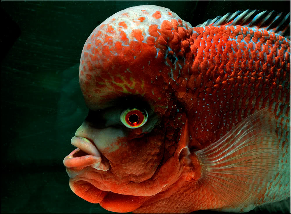 Flowerhorn The Hybrid Cichlids-4375