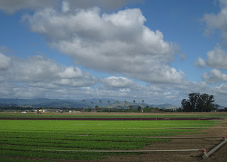 Fields of green and red leaf lettuce, Gilroy, California