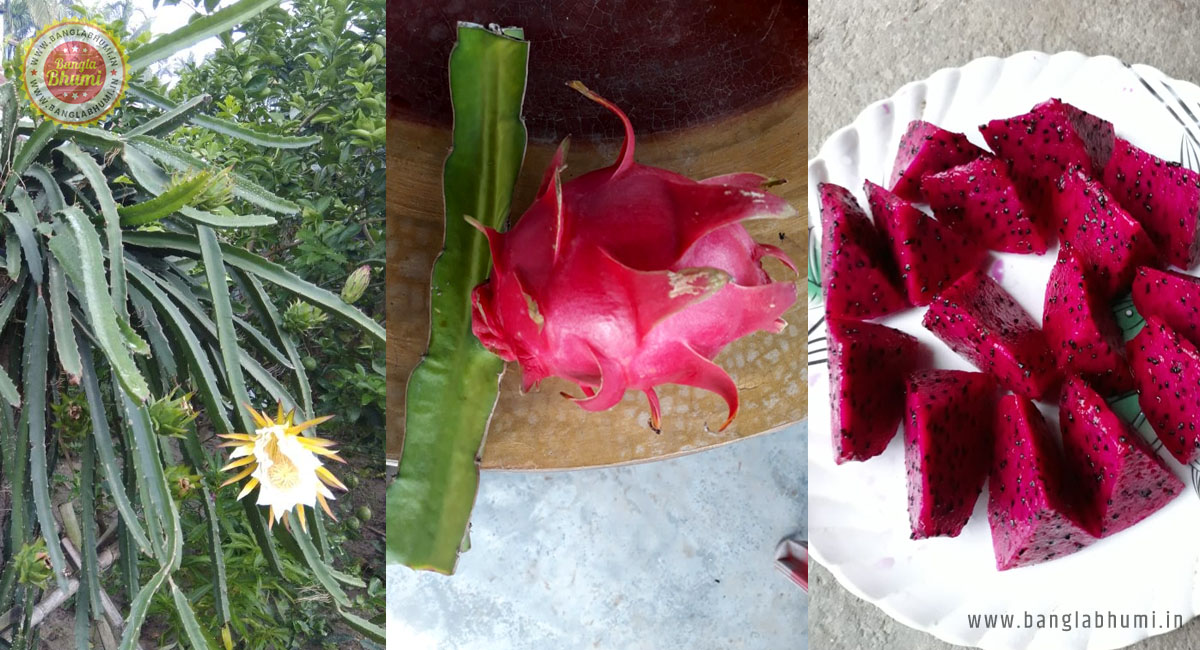 Dragon Fruit Farming Business in West Bengal
