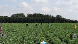Locuri de muncă pentru doljeni, în Marea Britanie. Se caută culegători de căpșune, mere și cireșe