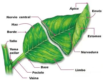 Dibujo de la hoja indicando su estructura para niños