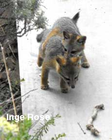 Friends of the Island Fox: Island Fox Behavior in 2017 on fox landing, fox running away, fox and coyotes pets, fox and their pups, fox sounds bark, fox north america, fox shedding, fox stealing food, fox looking up, fox pin, fox digging, fox tail up, fox reading, fox charm, fox aggressive behavior, fox being chased, fox behavioral and characteristics, fox and hedgehog, fox crying sound, fox and hen,