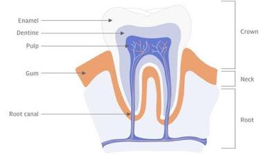 Ilmuwan Temukan Cara Menumbuhkan Kembali Gigi Berlubang
